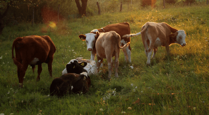 WHY DO VEGANS THINK THE DAIRY INDUSTRY IS CRUEL?