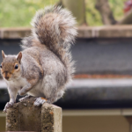 grey squirrel sat on a fence