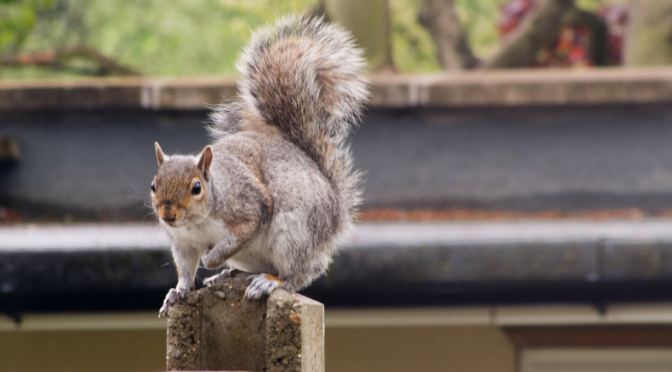 grey squirrel sat on a fence